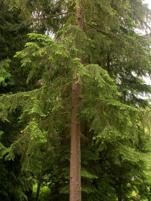 Branches and trunk of western hemlock tree
