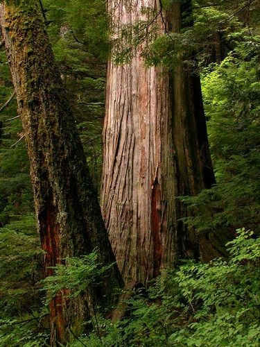 Trunks of Western red cedar in forest